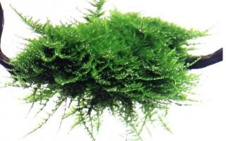 Weihnachtsbaummoos - Vesicularia montagnei