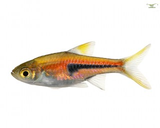 Keilfleckbarbe -Trigonostigma heteromorpha - DNZ