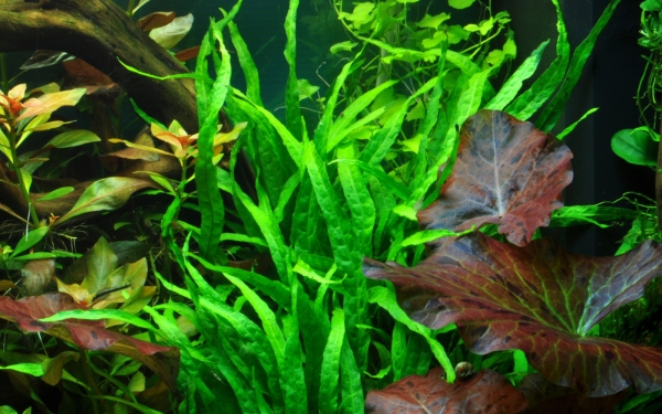 Schmalblättriger Javafarn - Microsorum pteropus 'Narrow' - Tropica Pflanze auf Wurzeln mit Saugnapf