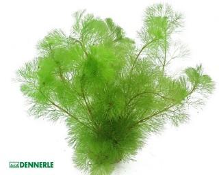 Feinblättrige Riesenhaarnixe - Cabomba aquatica - Dennerle Topf
