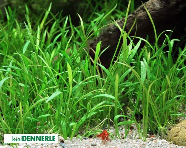 Brasilianische Graspflanze, Lilaeopsis brasiliensis – Dennerle Topf