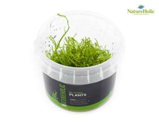 Leptodictyum riparium - NatureHolic InVitro