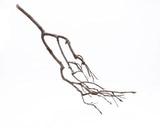 Teebaum Zweig - 50cm