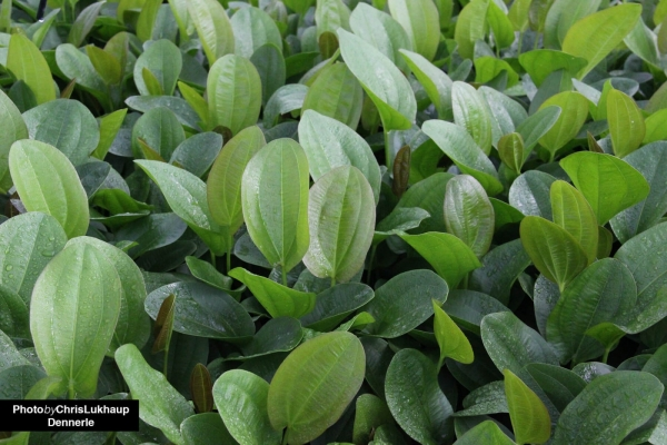 Herzblättrige Schwertpflanze Rötlich - Echinodorus cordifolius - Dennerle Topf