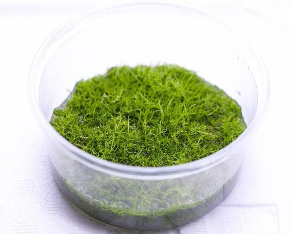 Grasartiger Wasserschlauch - Utricularia graminifolia - XXL InVitro Becher