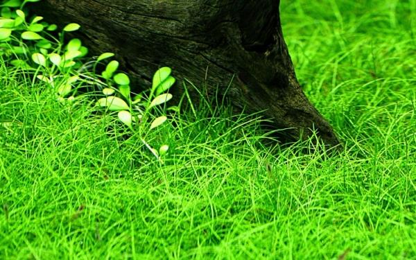 Zwergnadelsimse - Eleocharis pusilla (Eleocharis parvula) - Tropica Topf