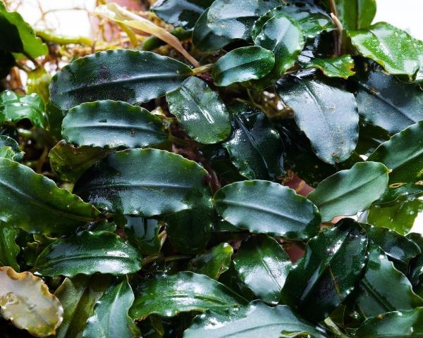 "Bucephalandra spec. ""Alamanda"" - Rarität Nano Aufsitzerpflanze"