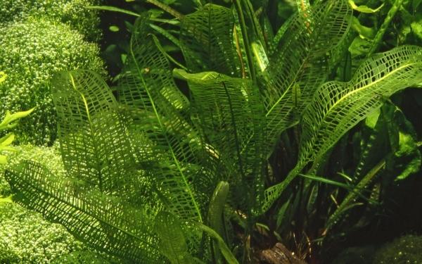 Madagaskar Gitterpflanze - Aponogeton madagascariensis - Knolle