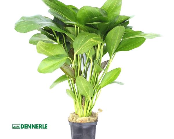 Grüner Ozelot - Echinodorus 'Ozelot' - XXL 9x9cm Topf - Dennerle Topf