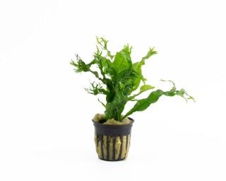 Windeløv-Javafarn - Microsorum pteropus var. Windelov - NatureHolic Plants - Topf