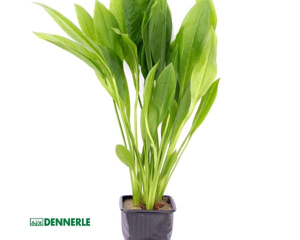 Große Amazonaspflanze Schwertpflanze - Echinodorus grisebachii Bleherae - XXL 9x9cm - Dennerle Topf