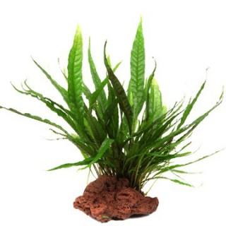 Javafarn - Microsorum pteropus - Tropica Pflanze auf Lavastein