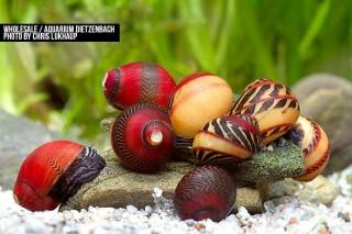 Rote Rennschnecke - Neritina (Vittina) waigiensis