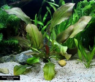 Echinodorus Dschungelstar 2