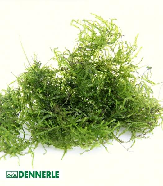 Flamemoos - Taxiphyllum spec. Flammenmoos - Dennerle Portion