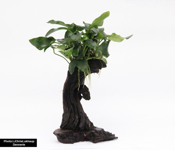 Urwaldbaum Mbuna - Klein mit Anubias barteri var. nana - Dennerle