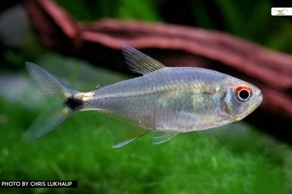 Laternenträger - Hemigrammus ocellifer