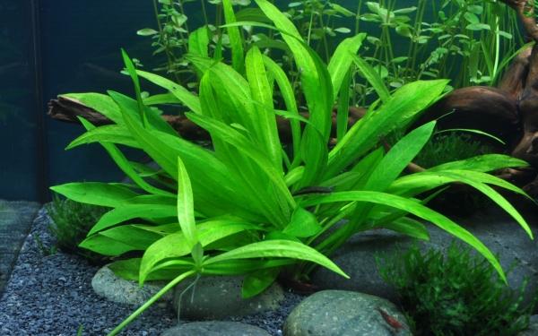 Zwergamazonaspflanze - Helanthium quadricostatus - Tropica Topf