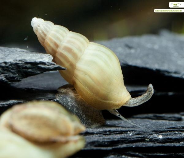 Clea helena - Elfenbein Raubschnecke