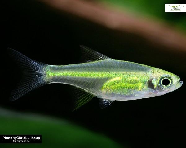 Green Neon Zwergrasbora - Microdevario kubotai