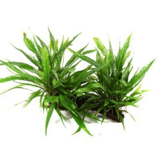 Javafarn - Microsorum pteropus - Tropica Pflanze auf Wurzeln
