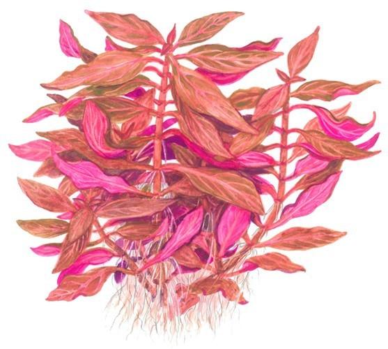 Rosanerviges Papageienblatt - Alternanthera reineckii 'Rosanervig' - Tropica Topf