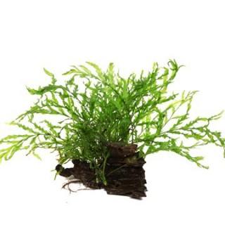 Kongofarn - Bolbitis heudelotii - Tropica Pflanze auf Wurzeln