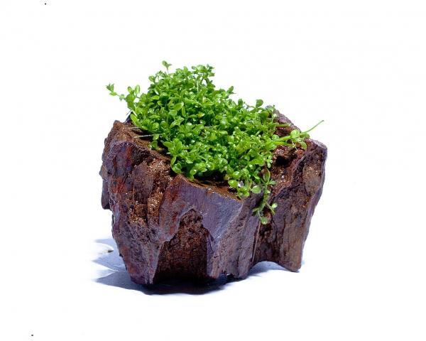 """Pflanzenstein - Hemianthus callitrichoides """"Cuba"""" - Perlkraut auf Drachenstein"""