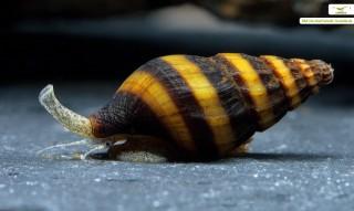 Clea helena - Raubschnecke