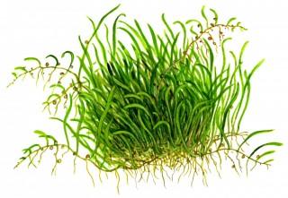 1-2-GROW! Grasartiger Wasserschlauch / Utricularia graminifolia
