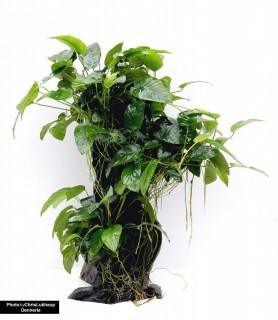 Urwaldbaum Mbuna - Groß mit Anubias nana - Dennerle