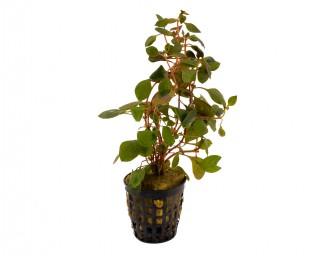 Schmalblättrige Bastardludwigie - Ludwigia repens spec. Red - NatureHolic Plants - Topf