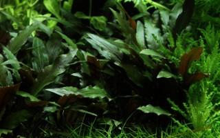Petchs Wasserkelch - Cryptocoryne beckettii 'Petchii' - Tropica Pflanze auf Lavastein