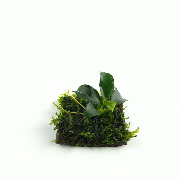TonPad 5x5 cm Anubia mit Christmasmoos - Vesicularia montagnei