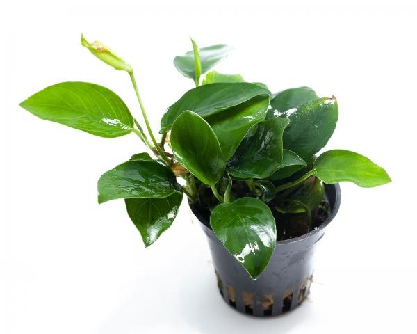 Anubias barteri nana - NatureHolic Plant