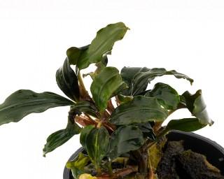 Bucephalandra sp. - NatureHolic Plants - Topf