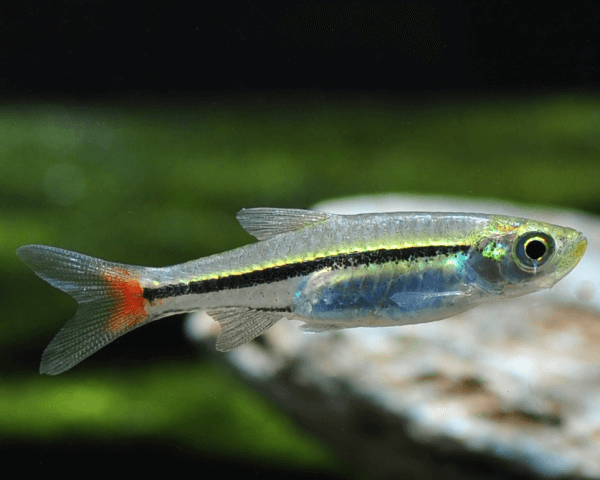 Rotschwanz Bärbling- Rasbora borapetensis