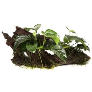 Zwergspeerblatt - Anubias barteri var. nana - Tropica Pflanze auf Wurzel