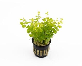 "Gold-Pfennigkraut - Lysimachia nummularia ""Gold"" - NatureHolic Plants - Topf"