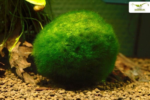 Mooskugel XXL - Aegagrophila linnaei - Biofilter für Aquarien - ab 8 cm