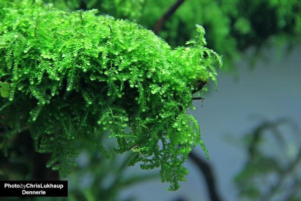 Vesicularia ferriei - Dennerle InVitro