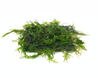 Weeping Moos Pad - Vesicularia ferriei - 8x8 cm