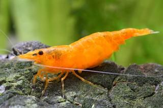 Orange Fire Garnele - Sakura Sunkist Garnele - Neocaridina davidi