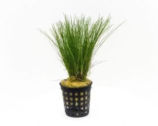 Nadelsimse - Eleocharis acicularis - Aquagreen Topf