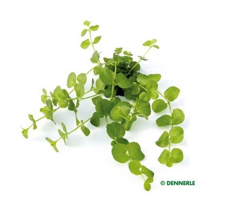 Grünes Pfennigkraut , Lysimachia nummularia - 1 Bund
