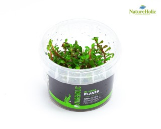 "Rotala rotundifolia ""Colorata"" - NatureHolic InVitro"