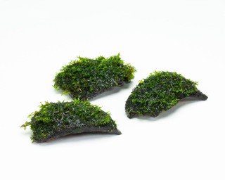 Korallenmoos - Riccardia - auf Coco