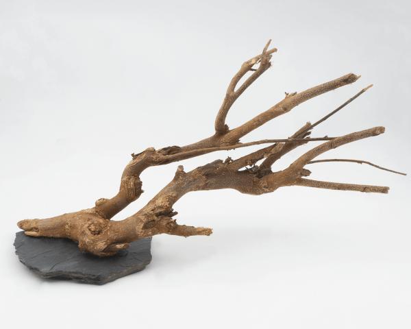 Scapebranch auf Schiefer - 30-35 cm