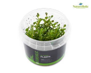 Rotala rotundifolia - NatureHolic InVitro