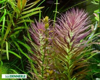 Aromatischer Sumpffreund - Limnophila aromatica - Dennerle Topf